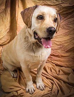 Labrador Retriever Mix Dog for adoption in Anna, Illinois - IVY