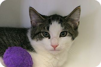 Domestic Shorthair Kitten for adoption in Staunton, Virginia - Denny