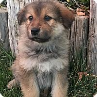 Adopt A Pet :: Bindi - Van Nuys, CA