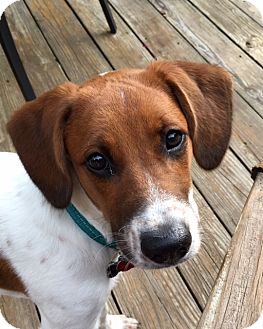Labrador Retriever/Beagle Mix Dog for adoption in Richmond, Virginia - Kodi