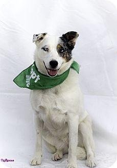 Australian Shepherd/Border Collie Mix Dog for adoption in Weatherford, Texas - Blu