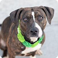 Adopt A Pet :: Bella - Raritan, NJ