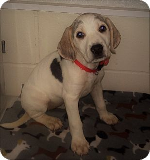Treeing Walker Coonhound/Labrador Retriever Mix Puppy for adoption in Burgaw, North Carolina - Erica