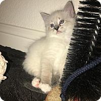 Adopt A Pet :: Uzi 1 - Austin, TX