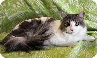 Domestic Longhair Cat for adoption in Greensboro, North Carolina - JUliet