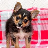 Adopt A Pet :: Fifi - Tiny! - Los Angeles, CA