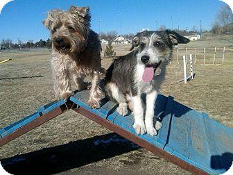 Schnauzer (Standard)/Border Collie Mix Puppy for adoption in Alliance, Nebraska - Stormy