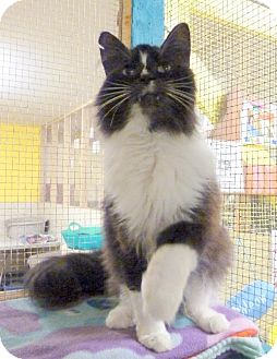 Domestic Longhair Cat for adoption in Westville, Indiana - Prince
