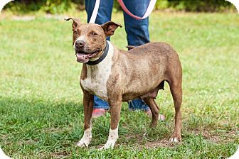 American Pit Bull Terrier Mix Dog for adoption in Marion, North Carolina - RoseBud