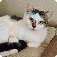 Domestic Shorthair Cat for adoption in McKinney, Texas - Bubbles