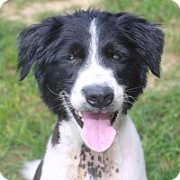 Australian Shepherd Dog for adoption in Rossville, Tennessee - Noah