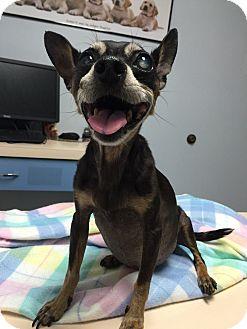 Chihuahua/Miniature Pinscher Mix Dog for adoption in Corona, California - Carmelina Diabetic Sweet Baby
