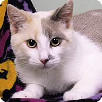 Domestic Shorthair Kitten for adoption in Murphysboro, Illinois - Claire
