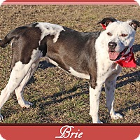 Labrador Retriever/Pointer Mix Dog for adoption in Hillsboro, Texas - Brie