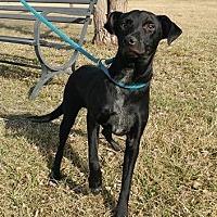 Terrier (Unknown Type, Medium)/Labrador Retriever Mix Dog for adoption in Trenton, Missouri - Pal