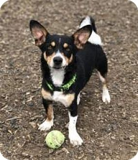 Pembroke Welsh Corgi/Chihuahua Mix Dog for adoption in The Dalles, Oregon - Bandit