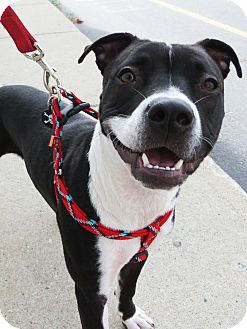 American Pit Bull Terrier Puppy for adoption in Detroit, Michigan - Maeve-Adopted!