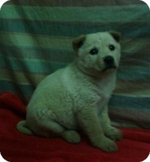 Shepherd (Unknown Type) Mix Puppy for adoption in Danbury, Connecticut - Gwen