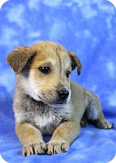Golden Retriever/Shepherd (Unknown Type) Mix Puppy for adoption in Westminster, Colorado - Corvus