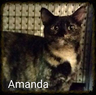 Domestic Shorthair Cat for adoption in Lexington, Kentucky - Amanda