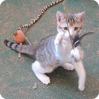 Domestic Shorthair Kitten for adoption in Gonzales, Texas - Toasty