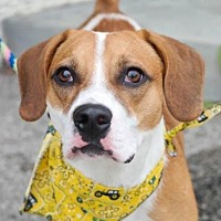 Adopt A Pet :: Blake - Anderson, IN