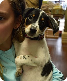 Beagle/Jack Russell Terrier Mix Puppy for adoption in Eden Prairie, Minnesota - Banks