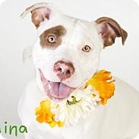 Adopt A Pet :: RAINA - Sacramento, CA