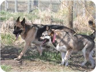 German Shepherd Dog Dog for adoption in Hamilton, Montana - Rico