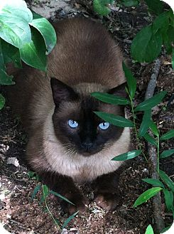 Siamese Cat for adoption in Chesterfield, Virginia - Griffin