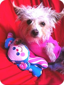 Yorkie, Yorkshire Terrier Mix Dog for adoption in Irvine, California - LITTLE LULU tiny 4 Lbs