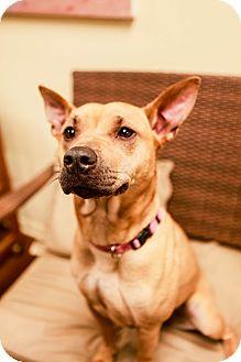 Shar Pei/Basenji Mix Dog for adoption in Lake Odessa, Michigan - Velveteen