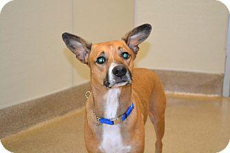 German Shepherd Dog/Beagle Mix Dog for adoption in Gilbert, Arizona - Buddy