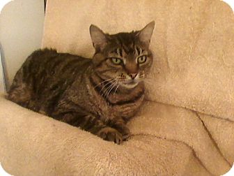 Domestic Shorthair Cat for adoption in Delmont, Pennsylvania - City Kitty