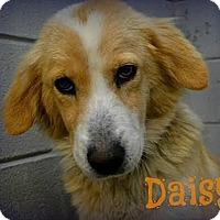Adopt A Pet :: Daisy - Sugar Land, TX