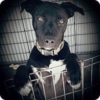 Adopt A Pet :: Shadow - Cypress, CA