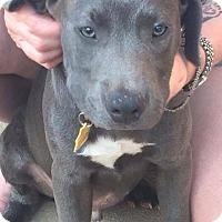 Adopt A Pet :: Bingo - Sinking Spring, PA