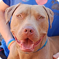 American Pit Bull Terrier/American Staffordshire Terrier Mix Dog for adoption in Las Vegas, Nevada - Tex