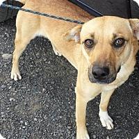 Adopt A Pet :: Libby - Kirkland, WA