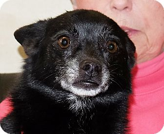 Chihuahua Mix Dog for adoption in Spokane, Washington - Picasso