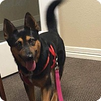 Adopt A Pet :: Cortland - Austin, TX