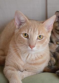 Domestic Shorthair Cat for adoption in Johnson City, Tennessee - Louie