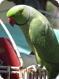 Parakeet - Other for adoption in Elizabeth, Colorado - Hola