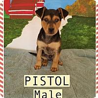 Adopt A Pet :: Pistol meet me 5/19 - Manchester, CT