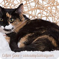 Domestic Shorthair Cat for adoption in Newport, Kentucky - Calico Jane