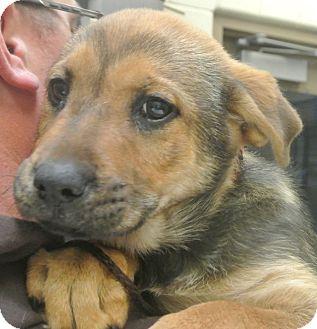 German Shepherd Dog Mix Puppy for adoption in white settlment, Texas - Grace