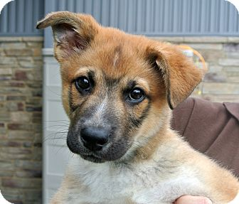 Shepherd (Unknown Type) Mix Puppy for adoption in white settlment, Texas - Aaron