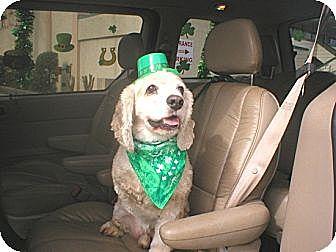 Cocker Spaniel Dog for adoption in Kannapolis, North Carolina - Carter - CCR's Mascot