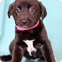 Adopt A Pet :: Hummus - Waldorf, MD