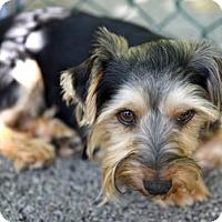 Adopt A Pet :: Henley - Chattanooga, TN